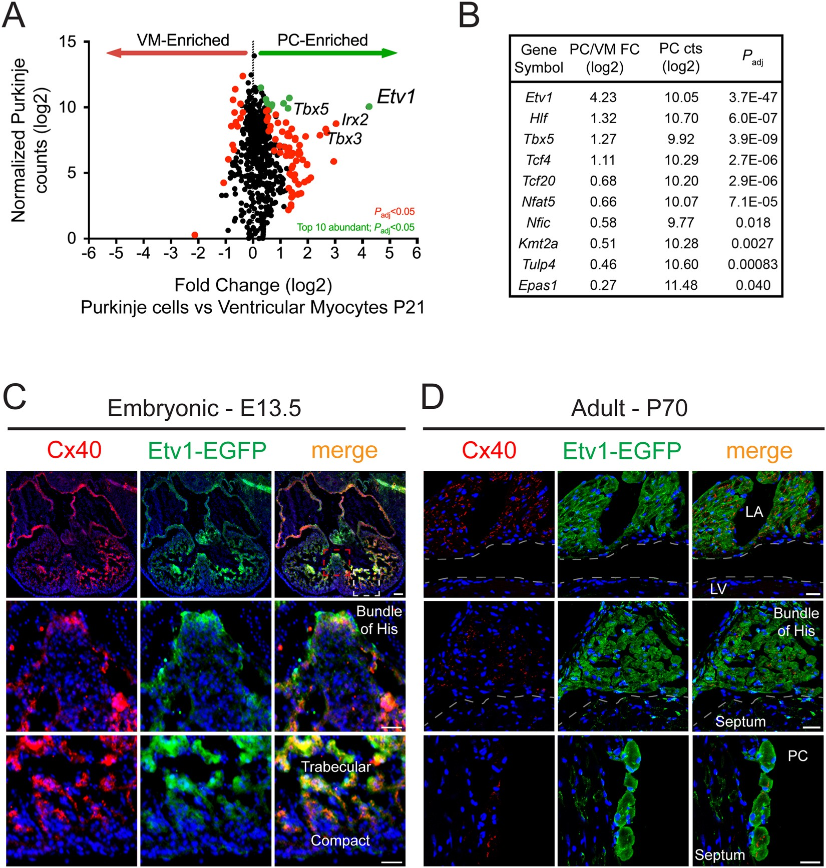 93ef3a6e016c ETV1 activates a rapid conduction transcriptional program in rodent and  human cardiomyocytes