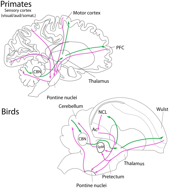 Parrots have evolved a primate-like telencephalic-midbrain ...