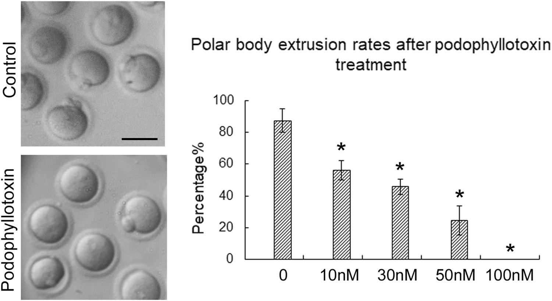 Exposure to podophyllotoxin inhibits oocyte meiosis by