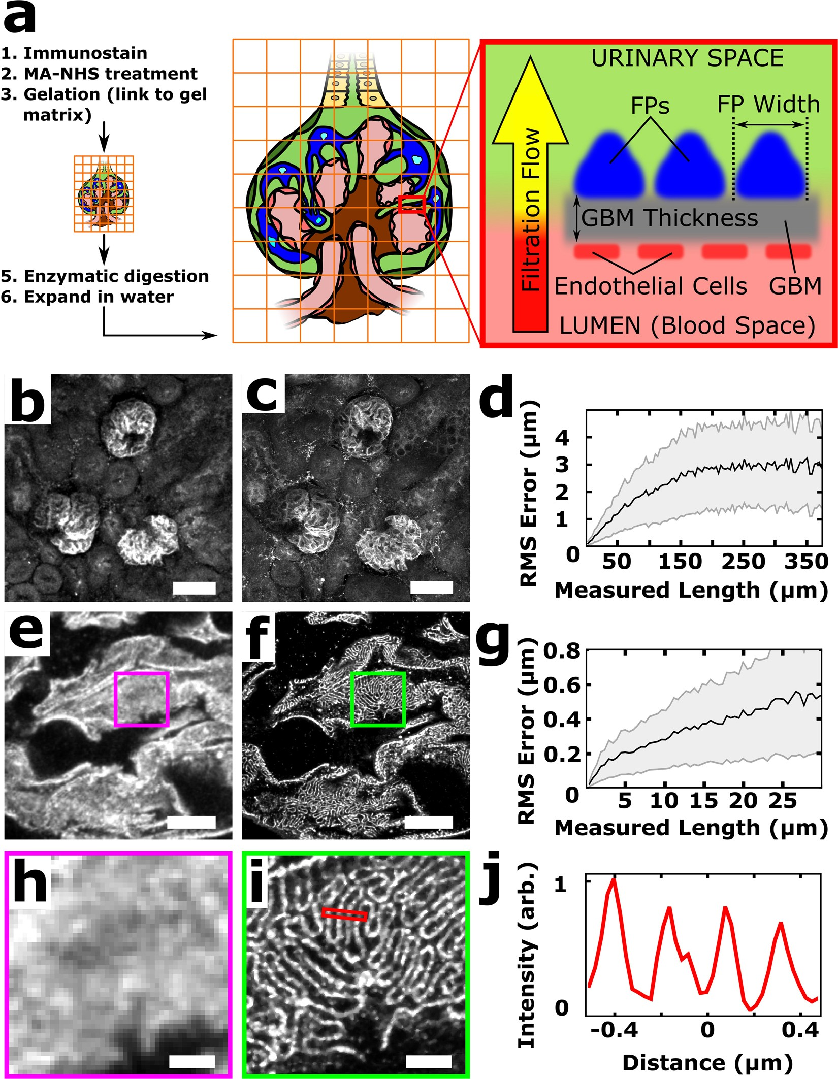 Imaging Approaches Expand View Into >> Volumetric Nanoscale Optical Imaging Of Mouse And Human Kidney Via