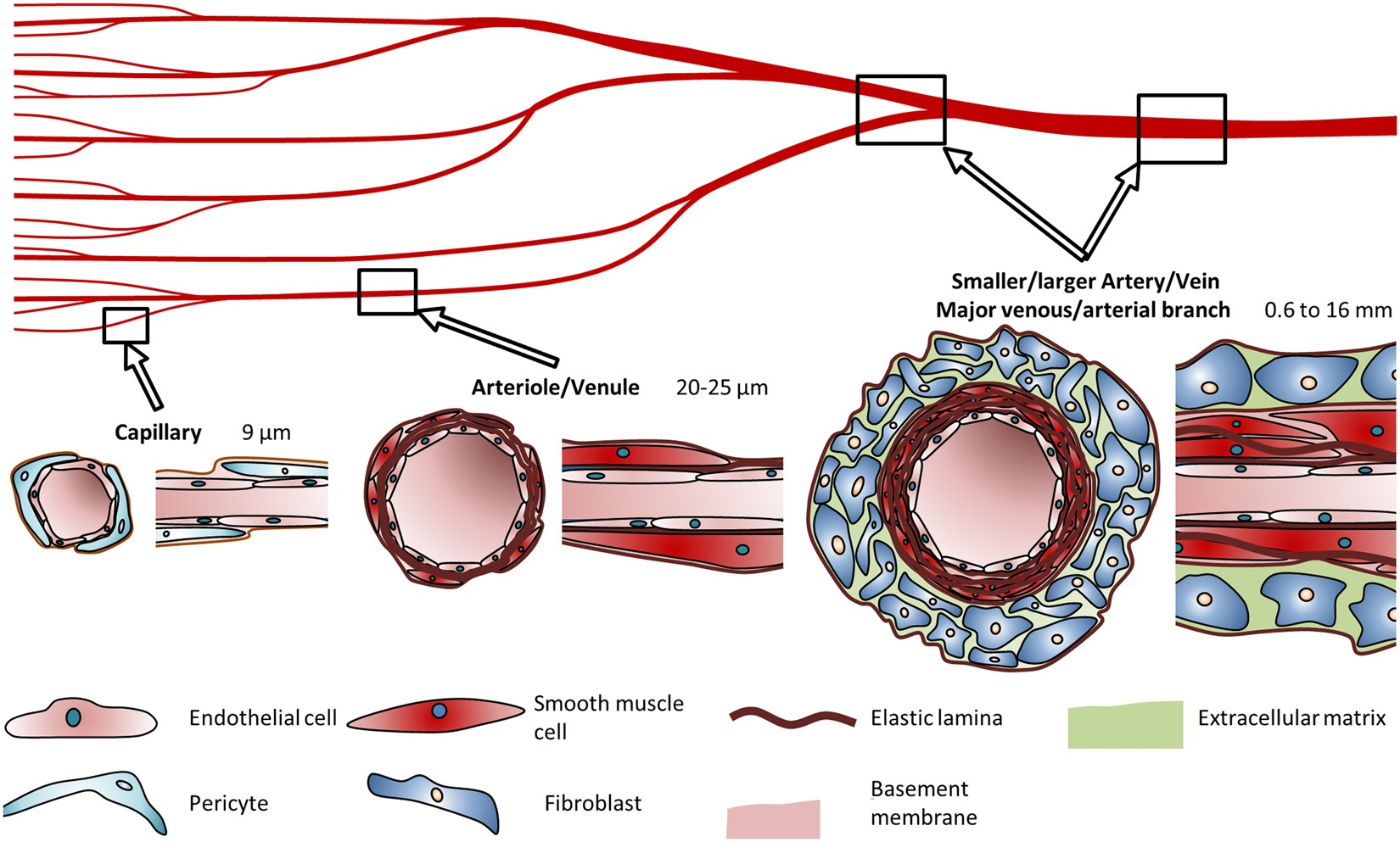 Engineering Biofunctional In Vitro Vessel Models Using A Multilayer Scytek Schematic Bioprinting Technique Scientific Reports
