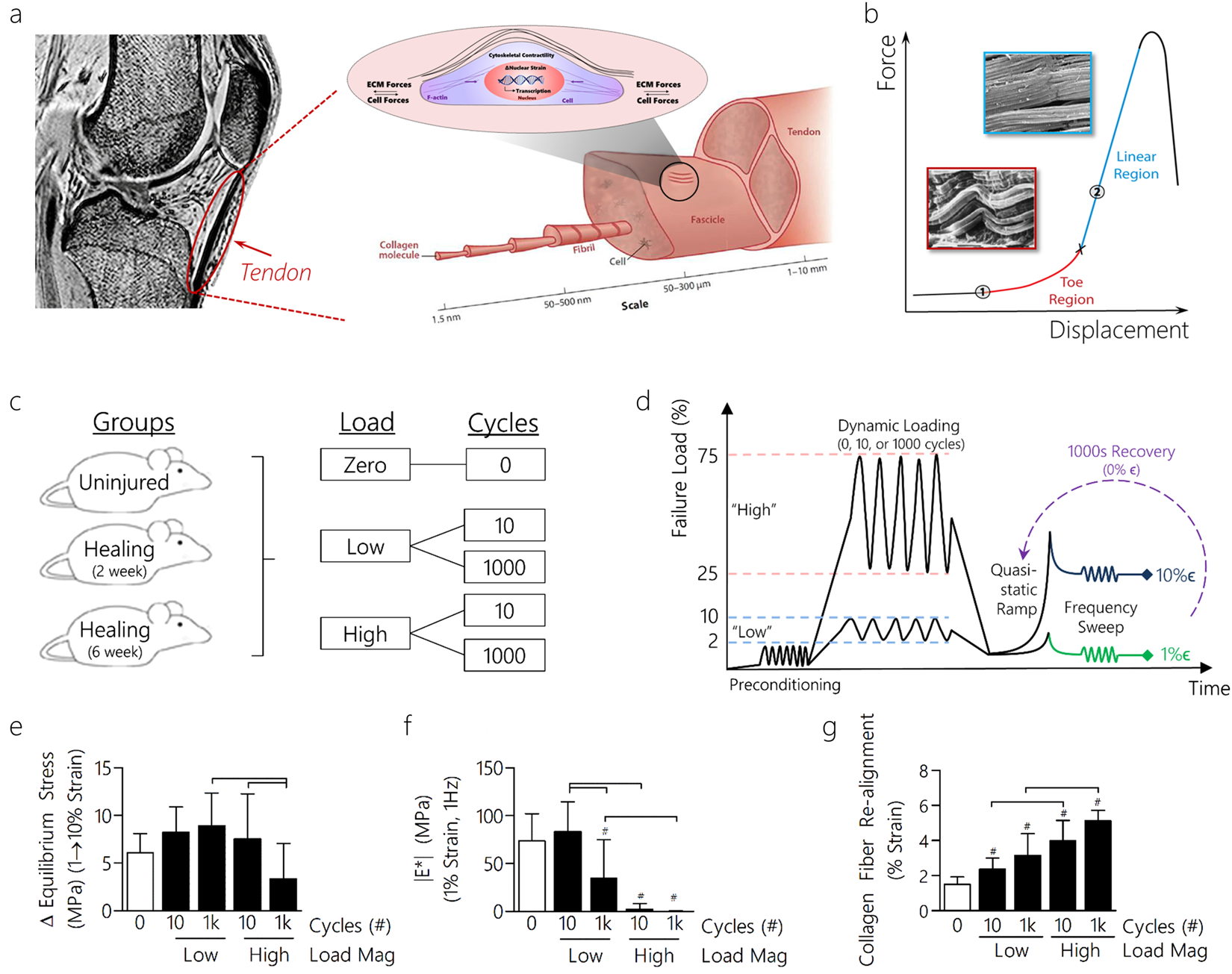Dynamic Loading and Tendon Healing Affect Multiscale Tendon