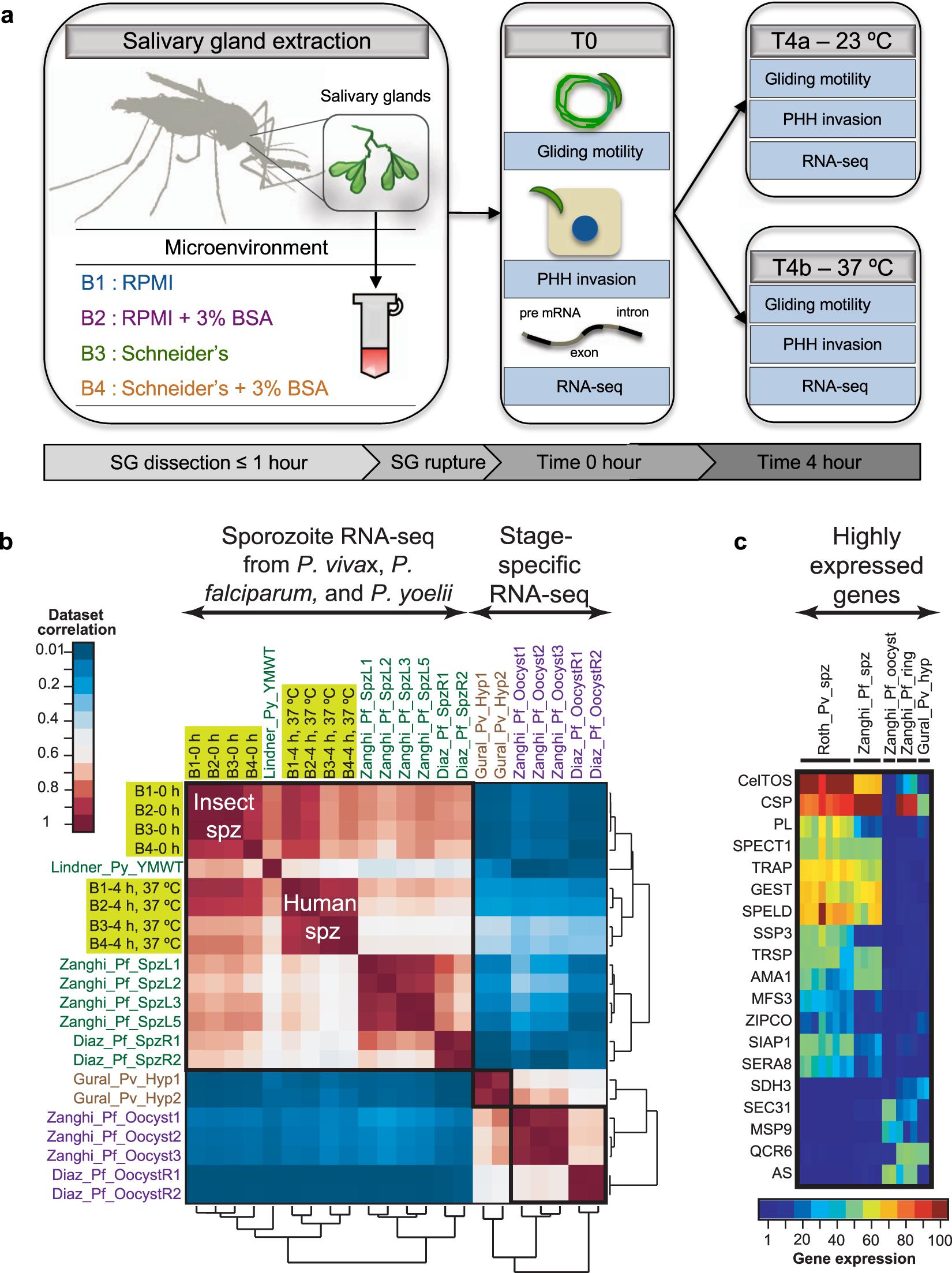 Unraveling Gene Environment Interaction >> Unraveling The Plasmodium Vivax Sporozoite Transcriptional Journey
