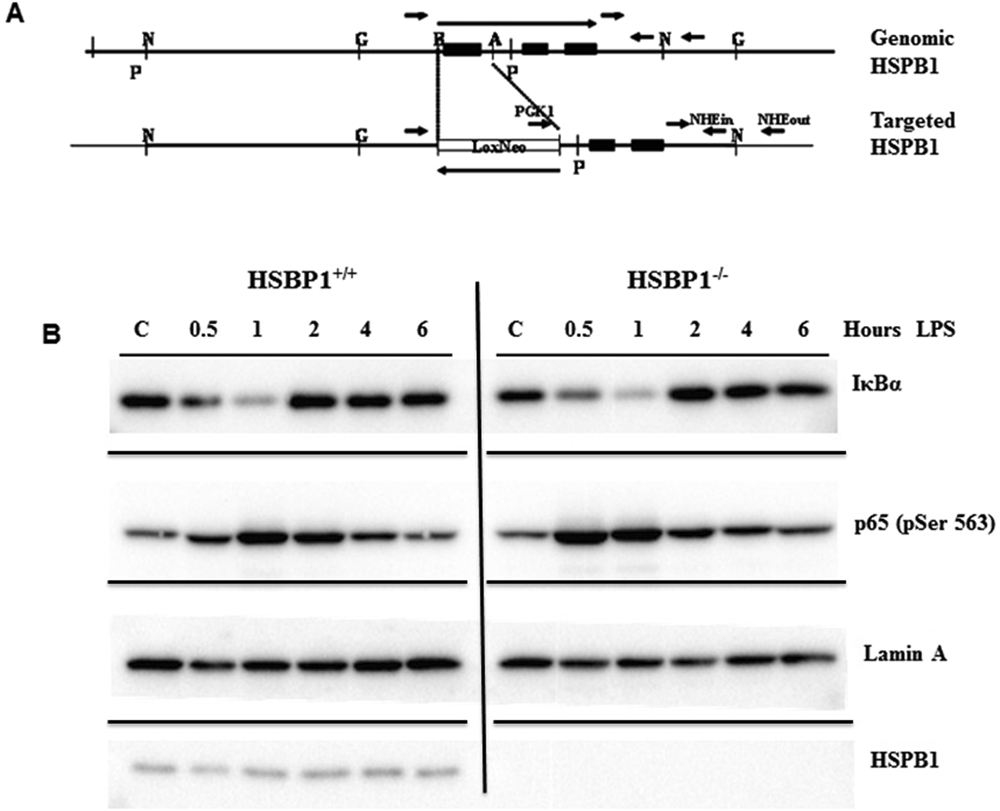 The Small Heat Shock Protein Hspb1 Protects Mice From Sepsis 94 Ford Explorer Engine Diagram Knock Scientific Reports