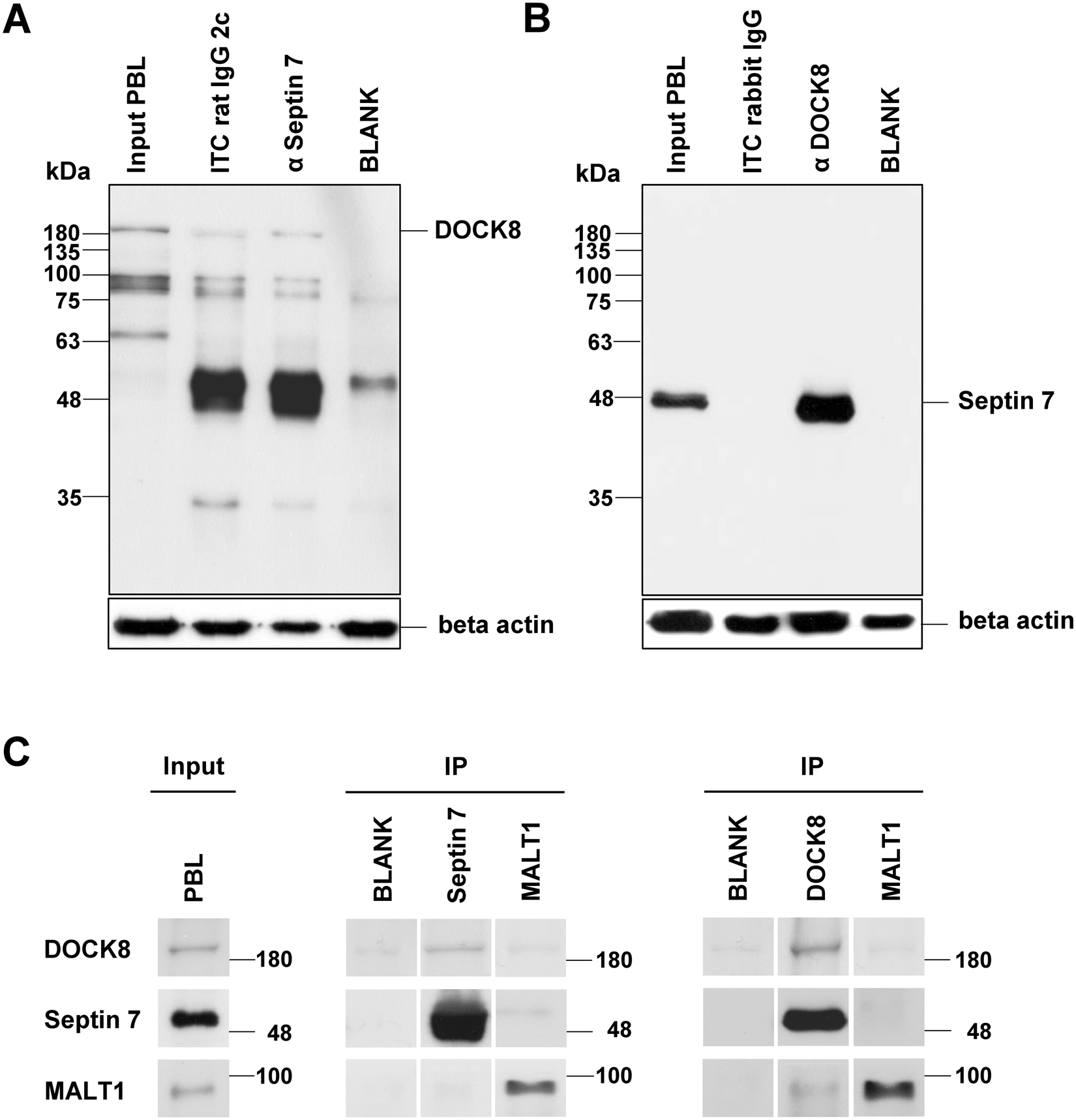 Interaction Of Septin 7 And Dock8 In Equine Lymphocytes Reveals