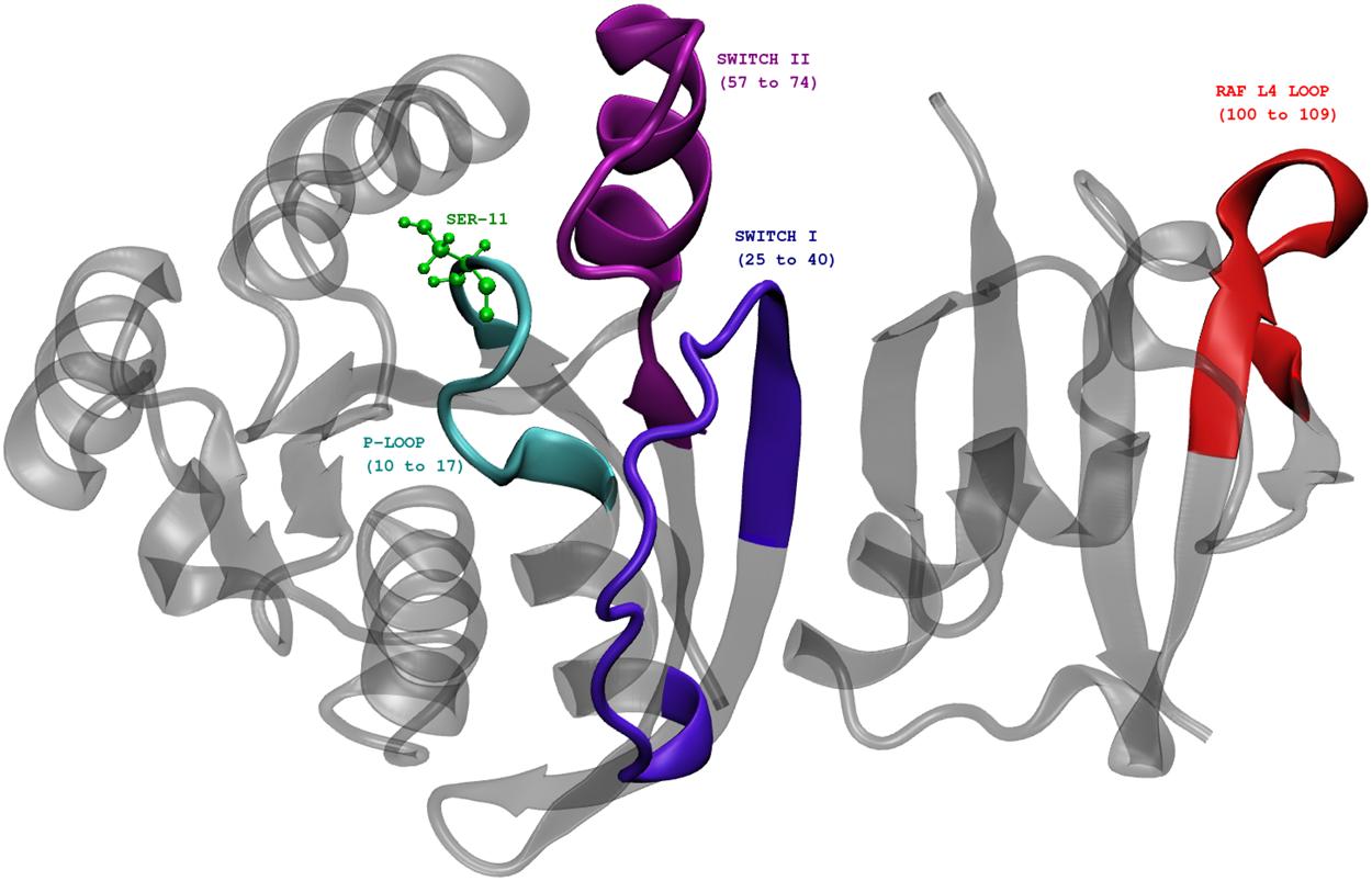 Phosphorylation promotes binding affinity of Rap-Raf complex by ...
