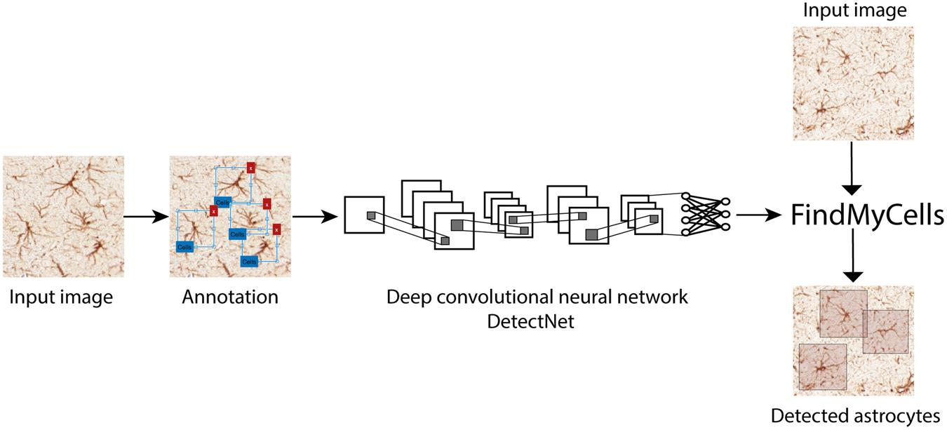 A deep convolutional neural network approach for astrocyte