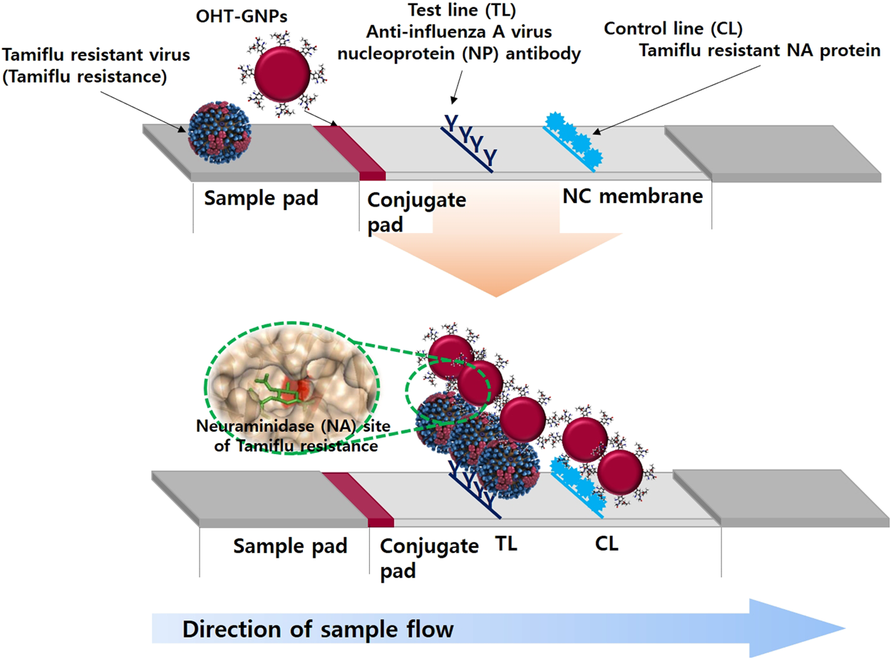 Rapid and simple detection of Tamiflu-resistant influenza