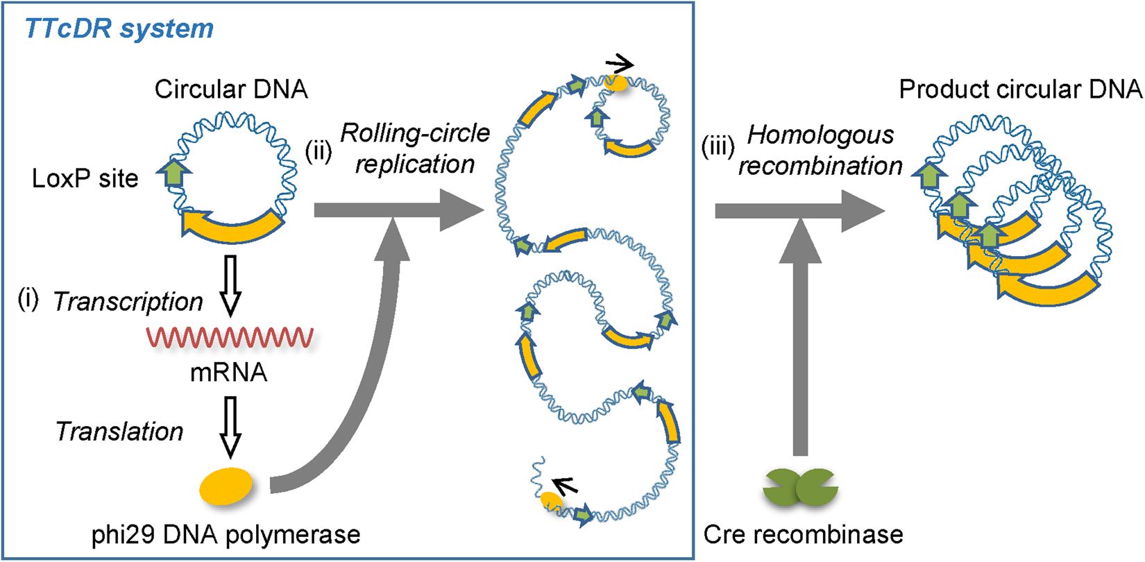 self replication of circular dna by a self encoded dna polymerase through rolling circle replication and recombination scientific reports