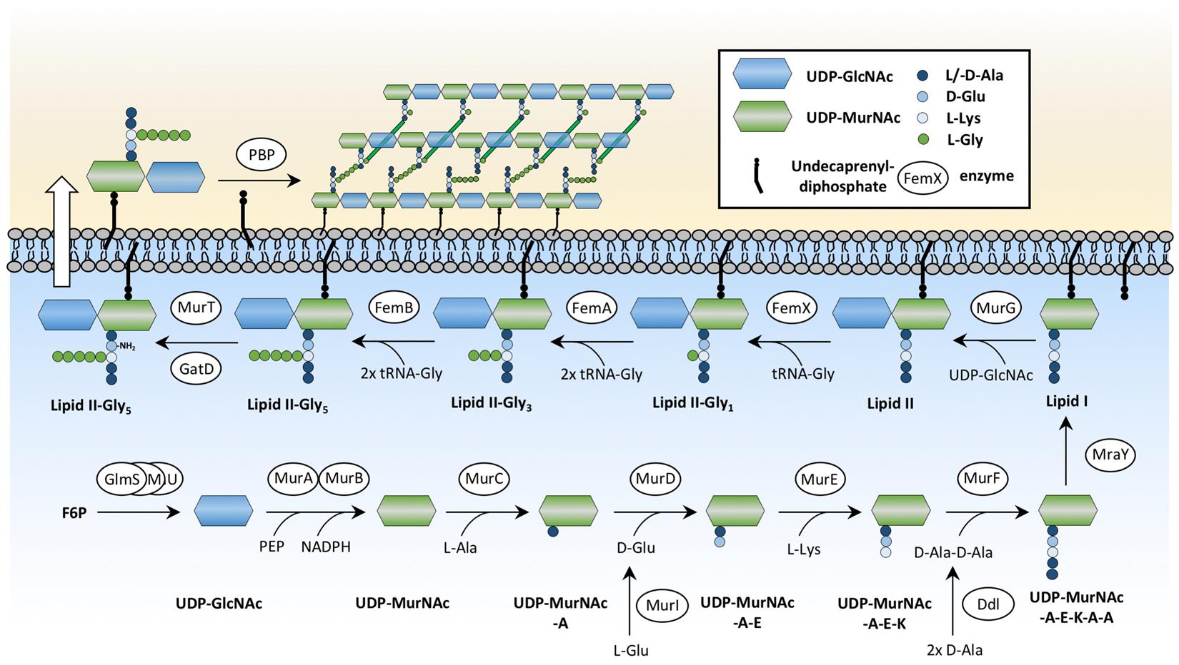 The Serinethreonine Kinase Stk And The Phosphatase Stp Regulate