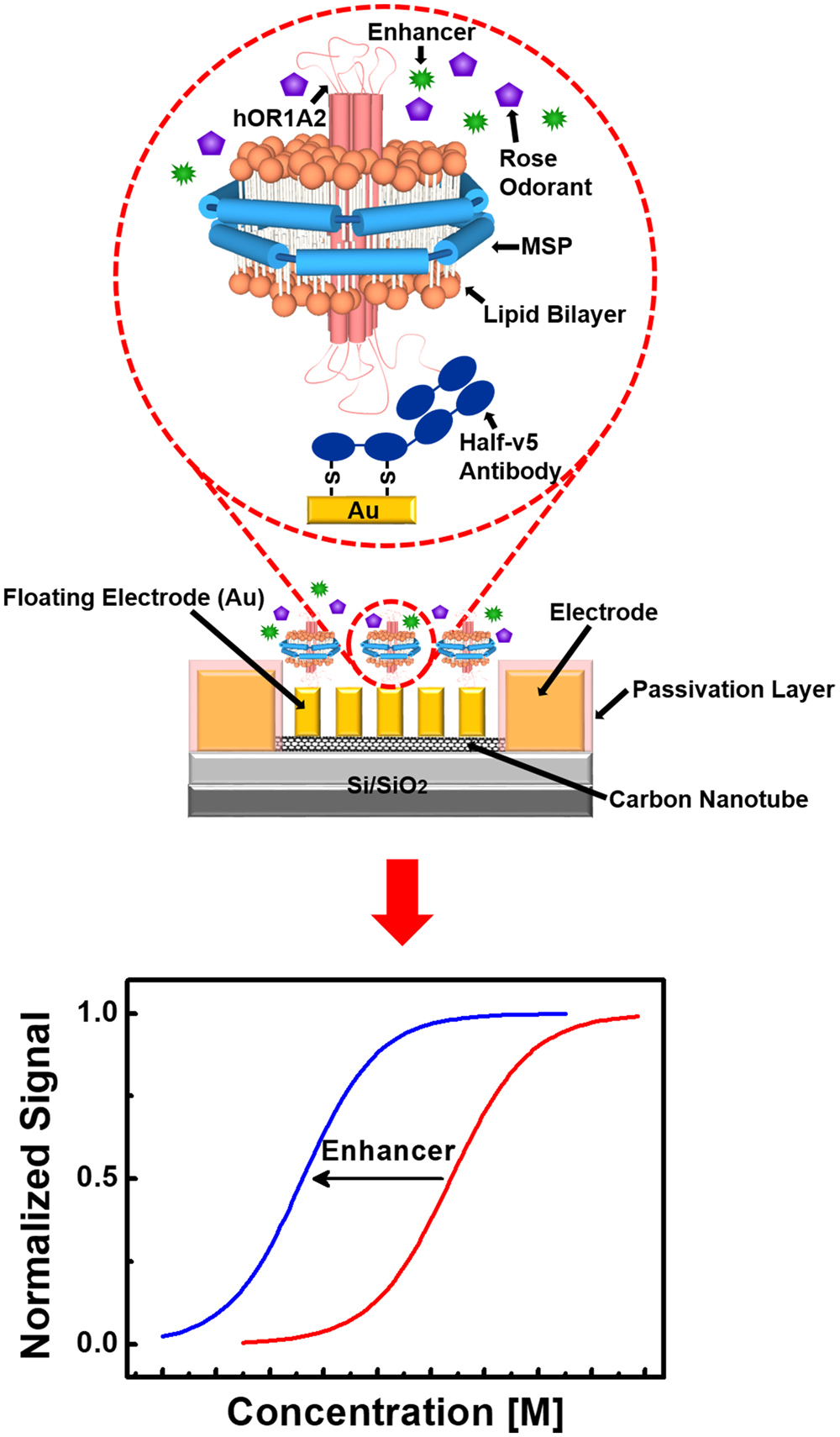Human Like Smelling Of A Rose Scent Using An Olfactory Receptor Voltage Floating Regulator Here Is The Schematic Or Download It As Nanodisc Based Bioelectronic Nose Scientific Reports