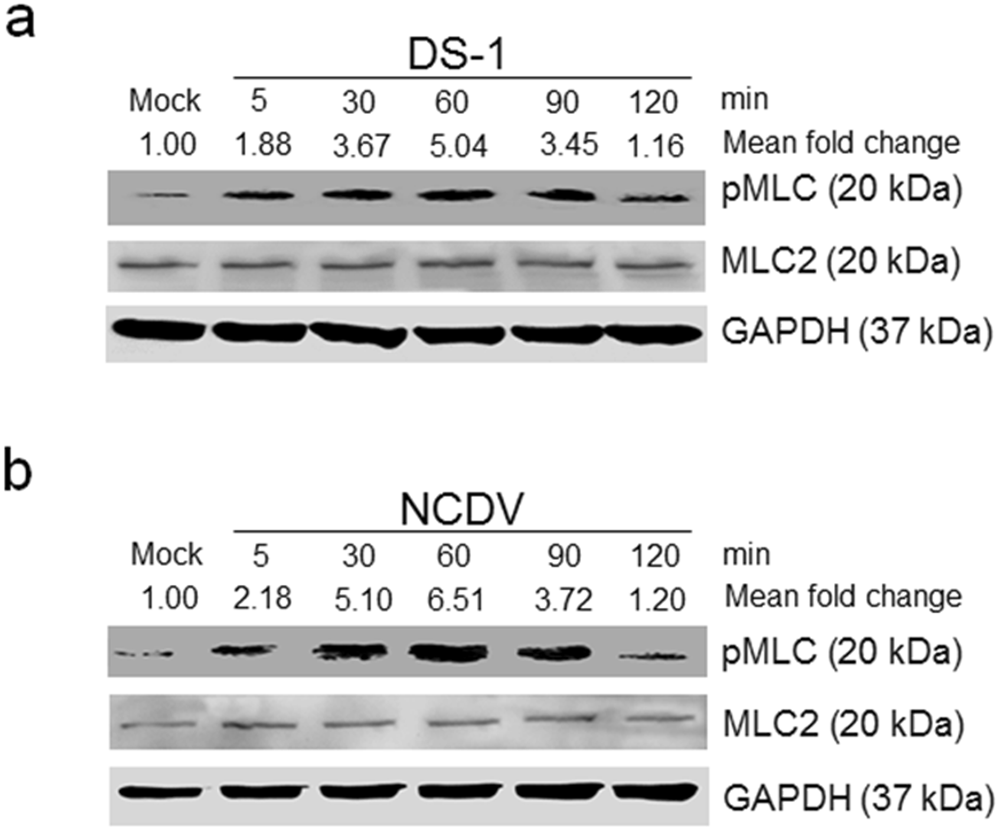 Rotavirus Induced Early Activation Of The Rhoa Rock Mlc Signaling Light Controller Wiring Diagram Pathway Mediates Disruption Tight Junctions In Polarized Mdck Cells Scientific