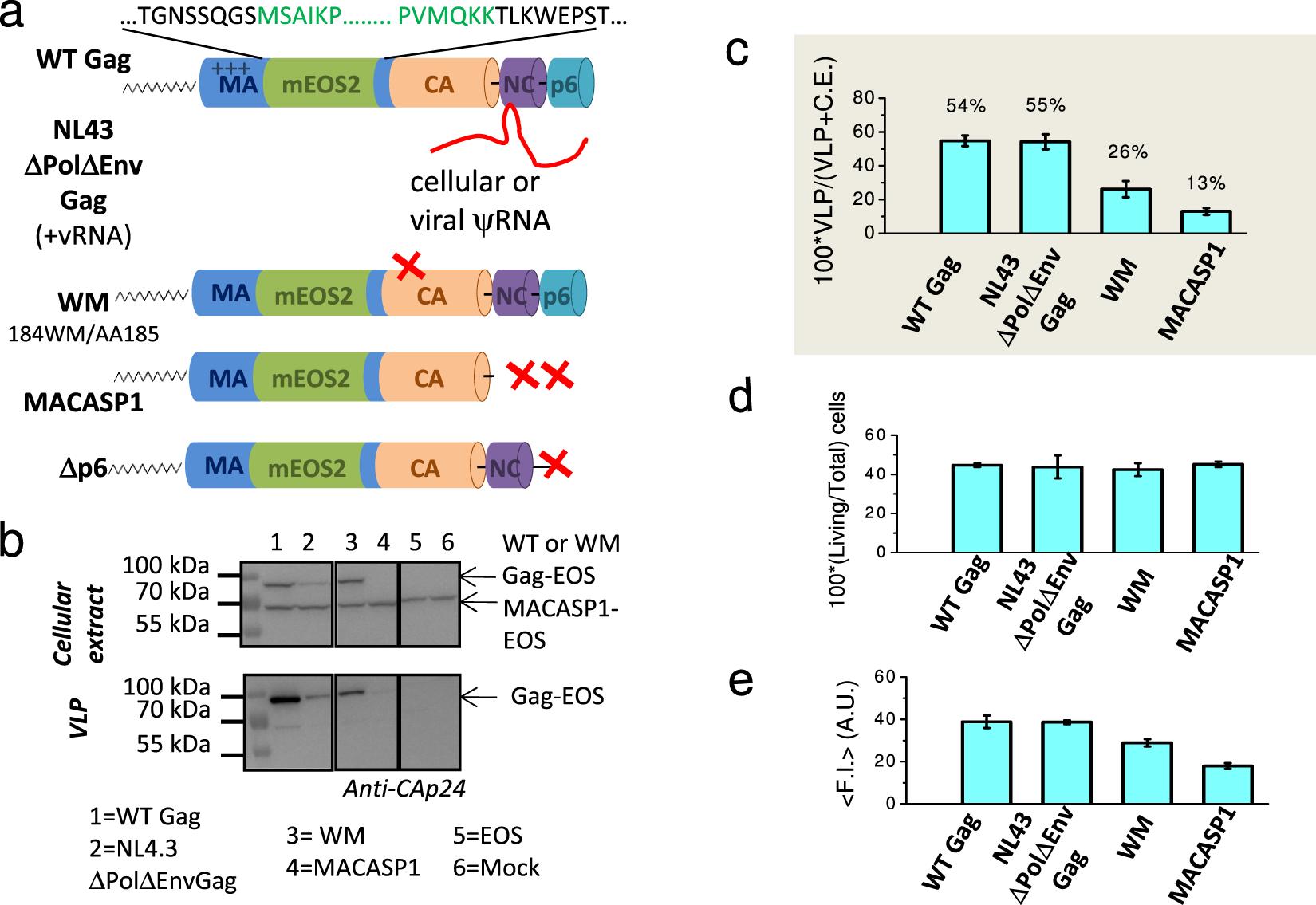 Single molecule localisation microscopy reveals how HIV-1