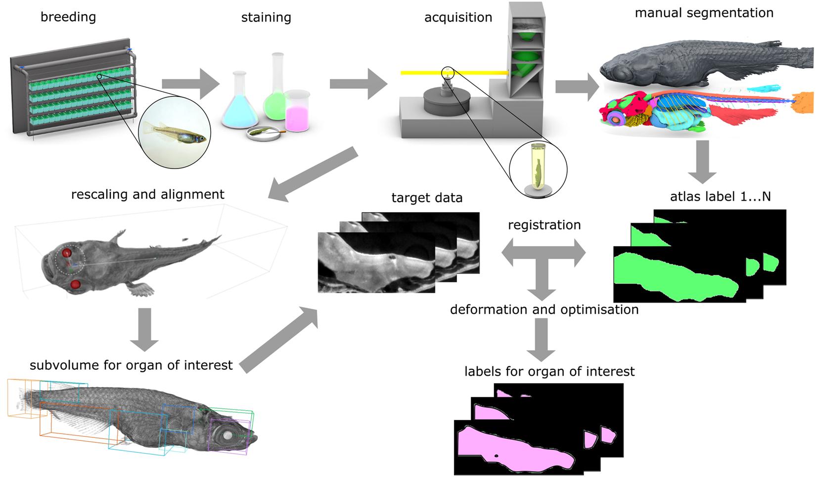 Quantitative morphometric analysis of adult teleost fish by X-ray
