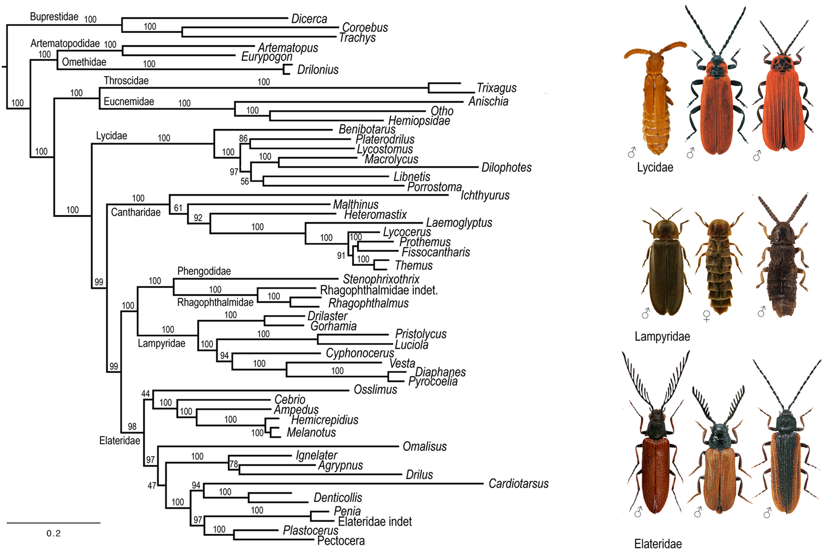 Genome sequences identify three families of Coleoptera as