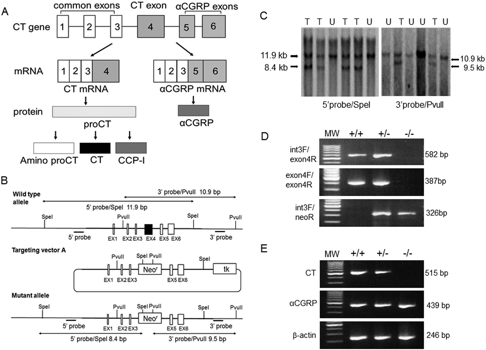 Endogenous calcitonin regulates lipid and glucose metabolism