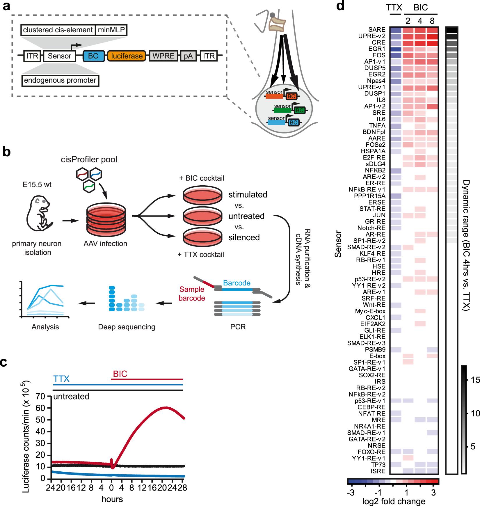 Neuronal Barcodes Shape Complex Networks In The Brain >> Pathway Sensor Based Functional Genomics Screening Identifies