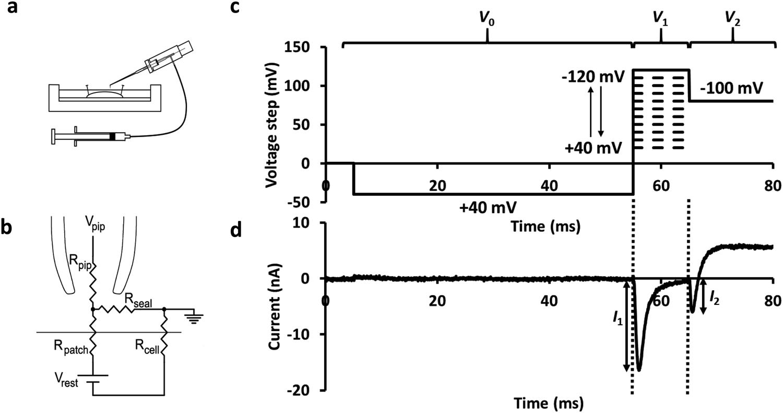 Sodium current inhibition following stimulation of exchange