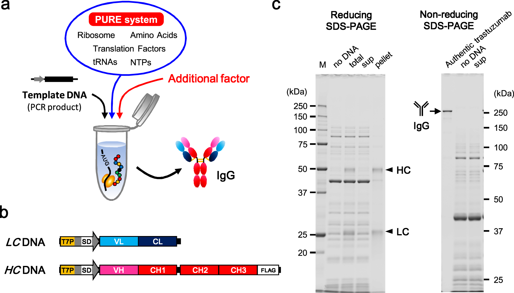 Constructive approach for synthesis of a functional IgG