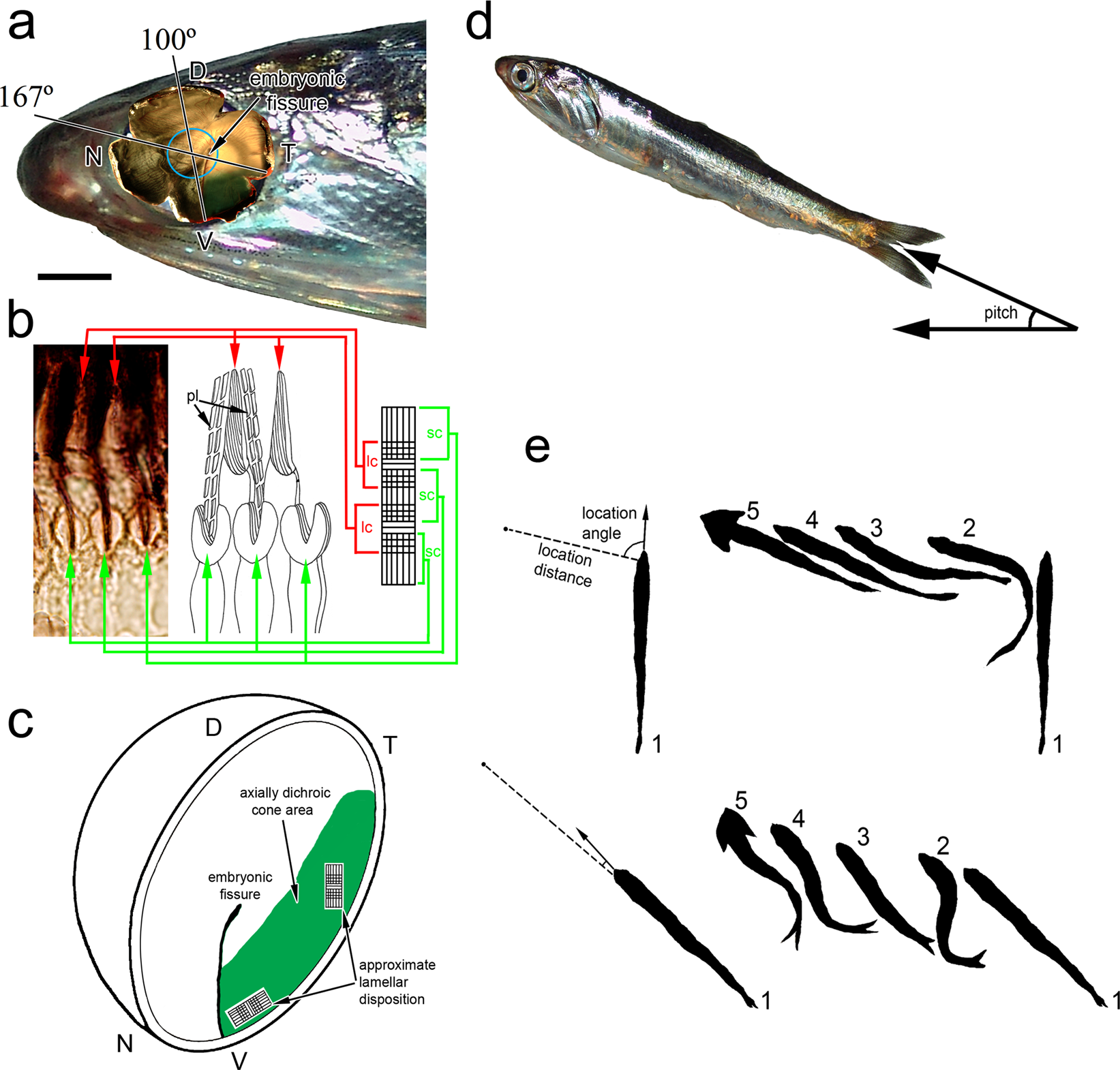 Swimming behaviour tunes fish polarization vision to double