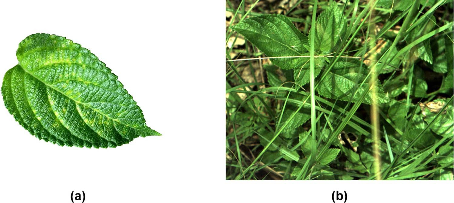 DeepWeeds: A Multiclass Weed Species Image Dataset for Deep