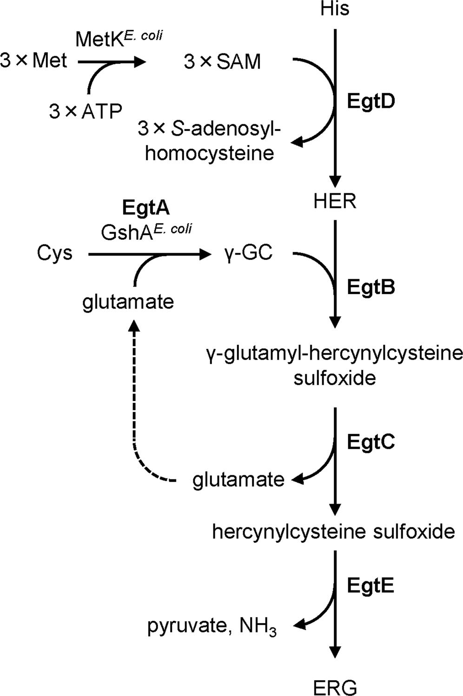 Gram-scale fermentative production of ergothioneine driven