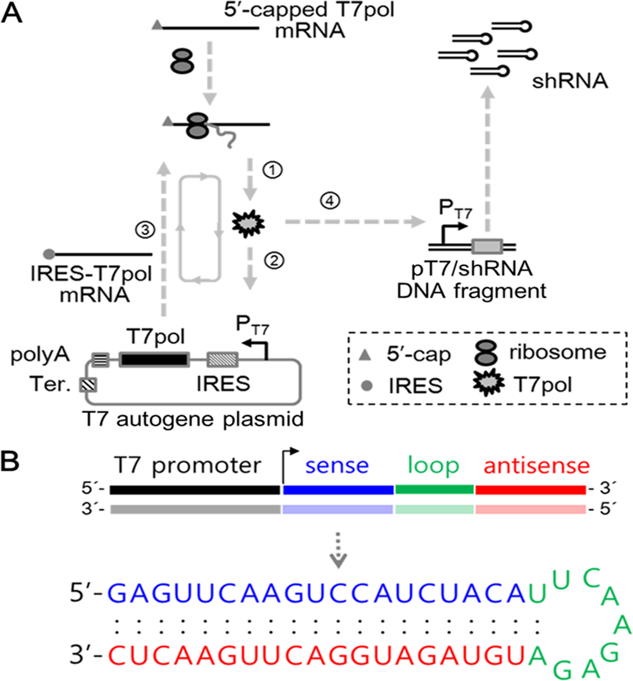 a t7 autogene based hybrid mrna dna system for long term shrnaa t7 autogene based hybrid mrna dna system for long term shrna expression in cytoplasm without inefficient nuclear entry scientific reports