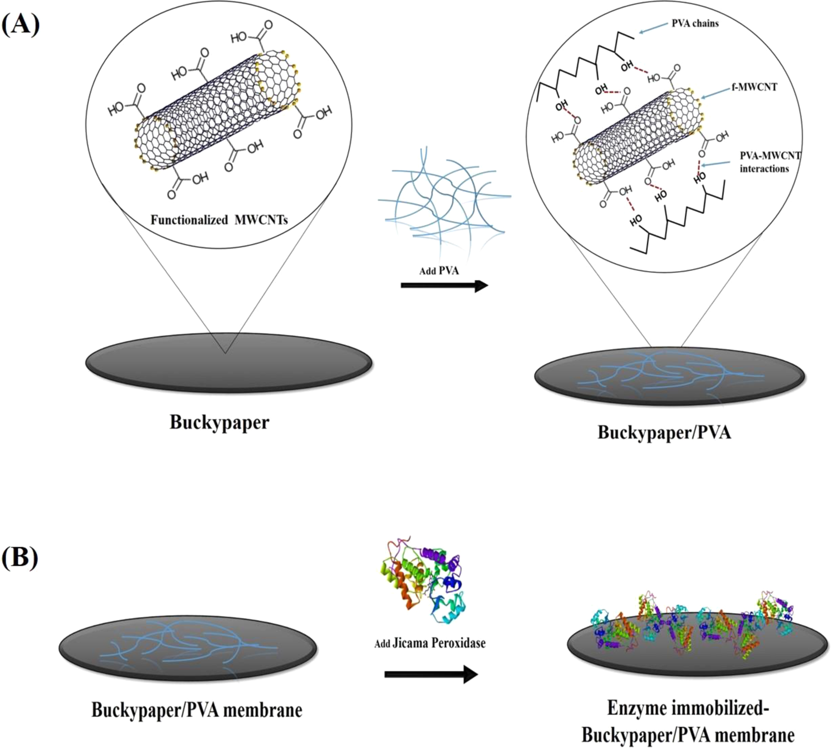 immobilization of peroxidase on functionalized mwcnts-buckypaper/polyvinyl  alcohol nanocomposite membrane | scientific reports