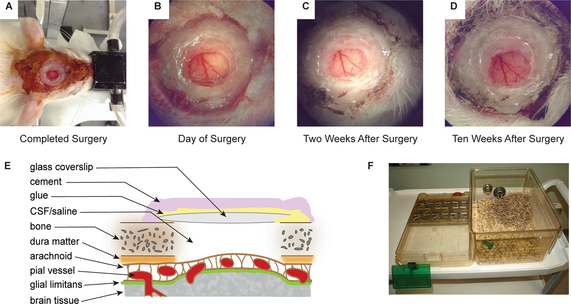 Refinement of a chronic cranial window implant in the rat for