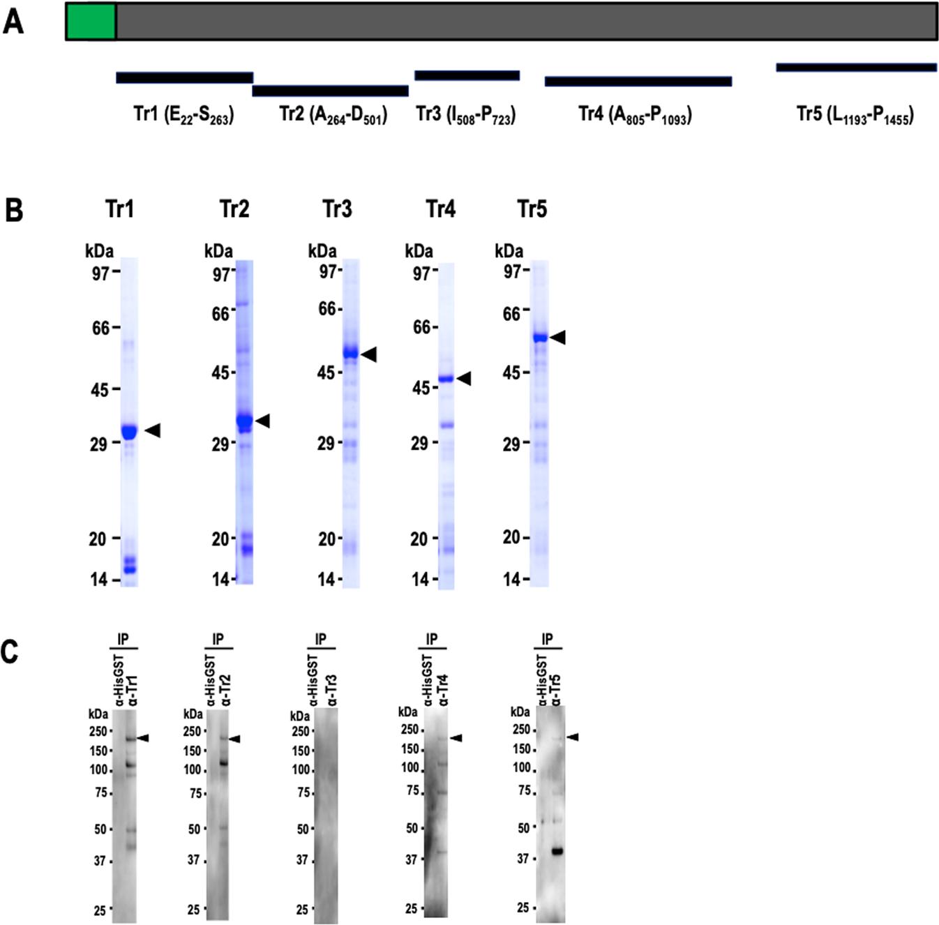 PfMSA180 is a novel Plasmodium falciparum vaccine antigen