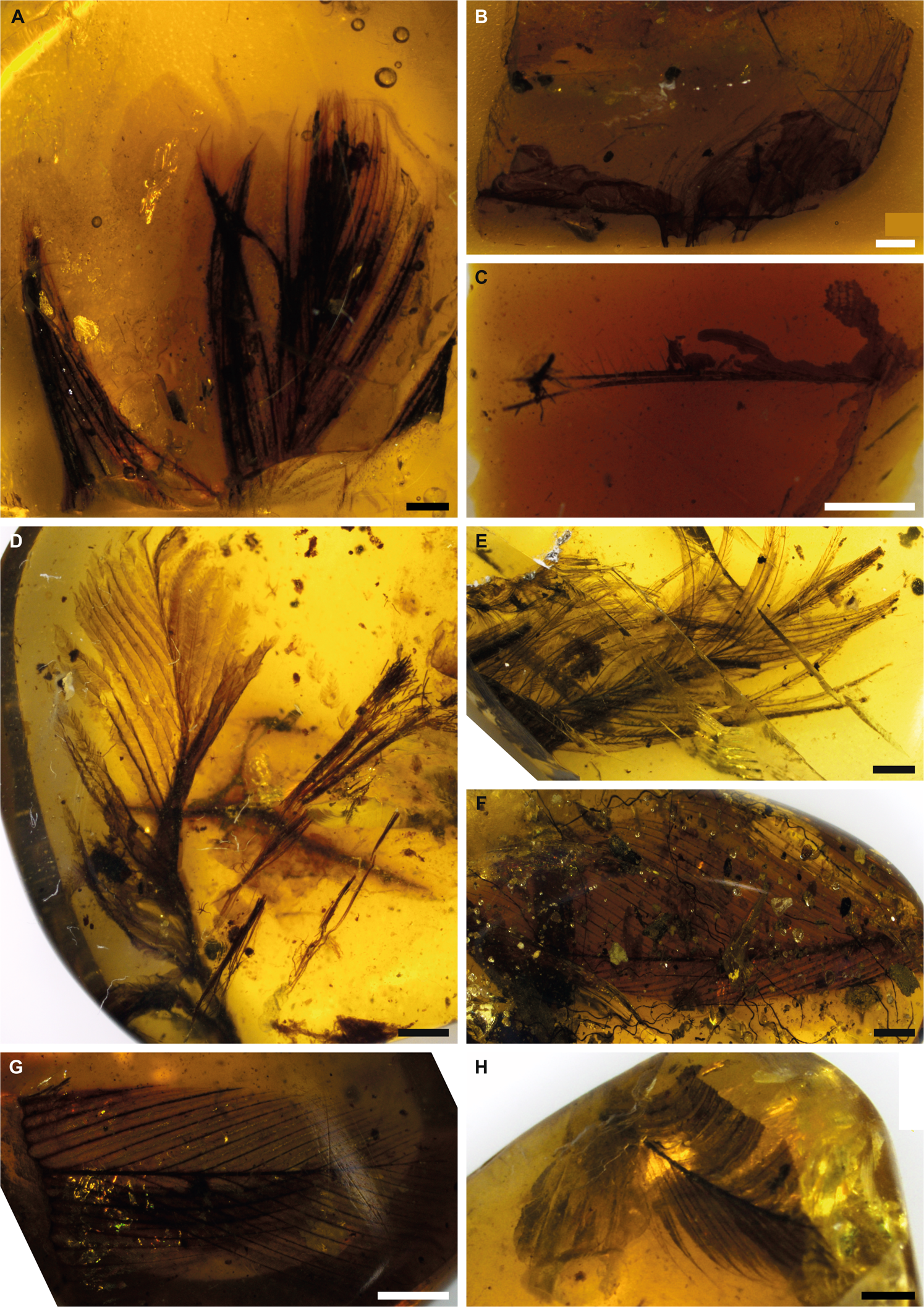 Ancient amino acids from fossil feathers in amber