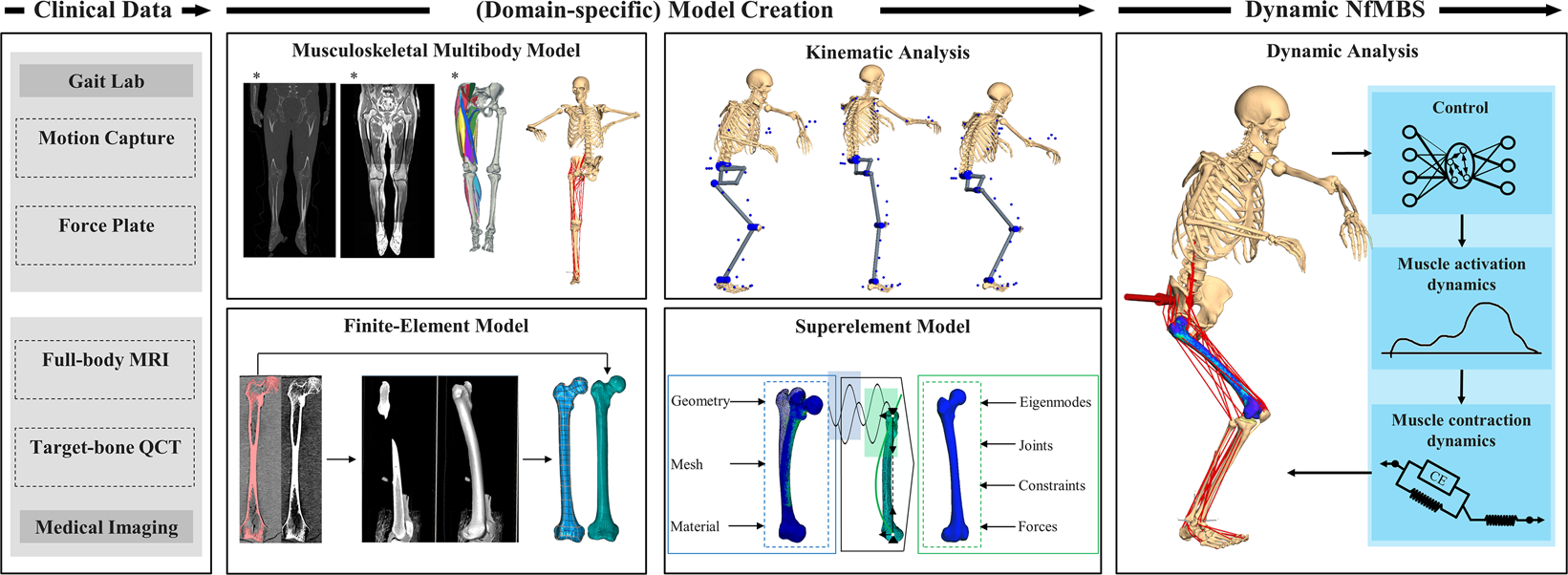 Neuro-musculoskeletal flexible multibody simulation yields a
