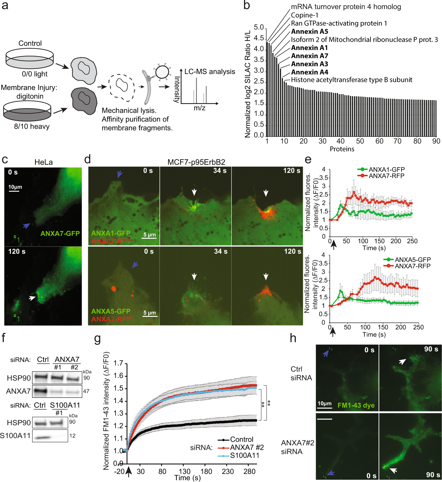 Annexin A7 is required for ESCRT III-mediated plasma