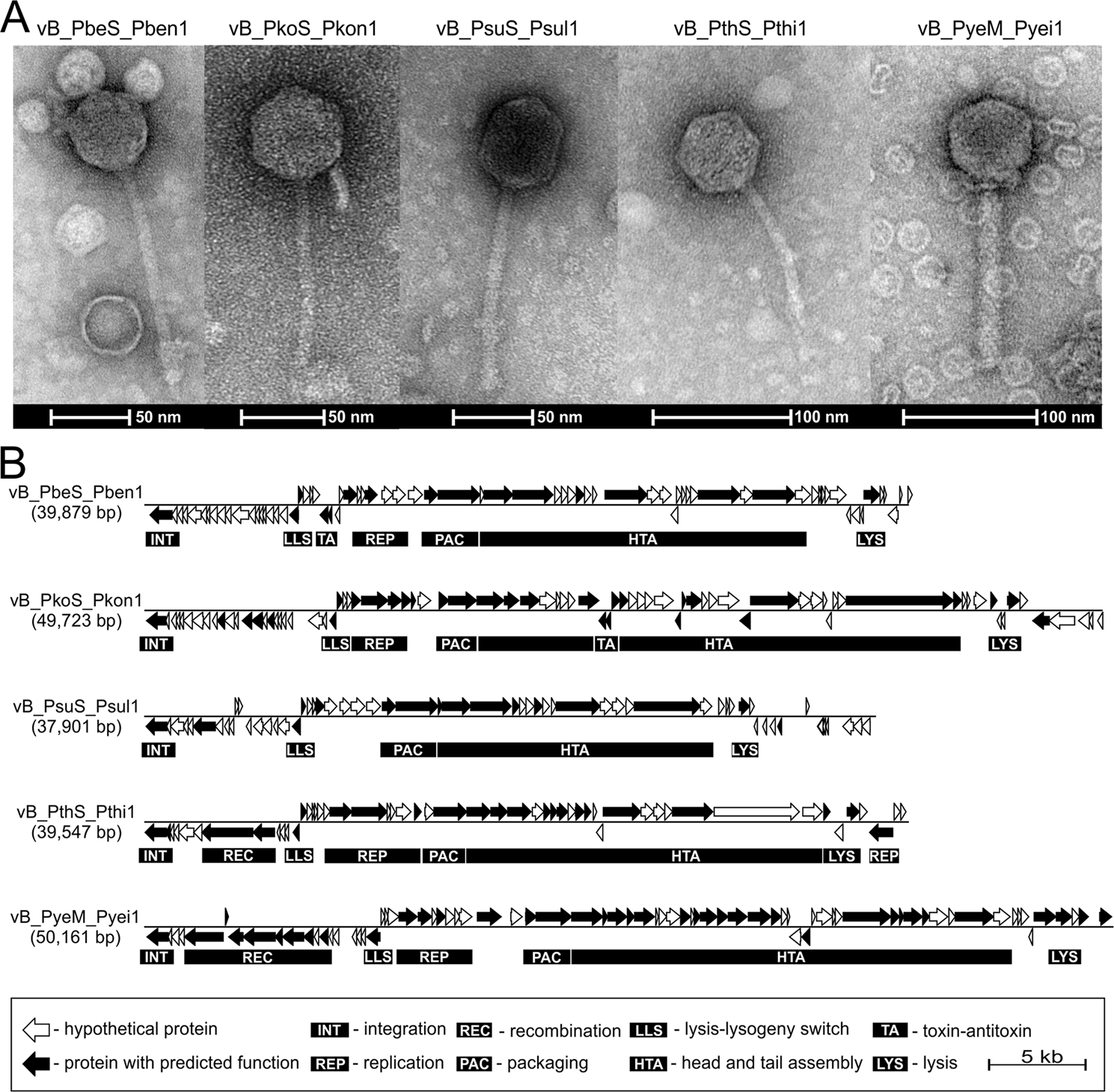 Characterization of the virome of Paracoccus spp