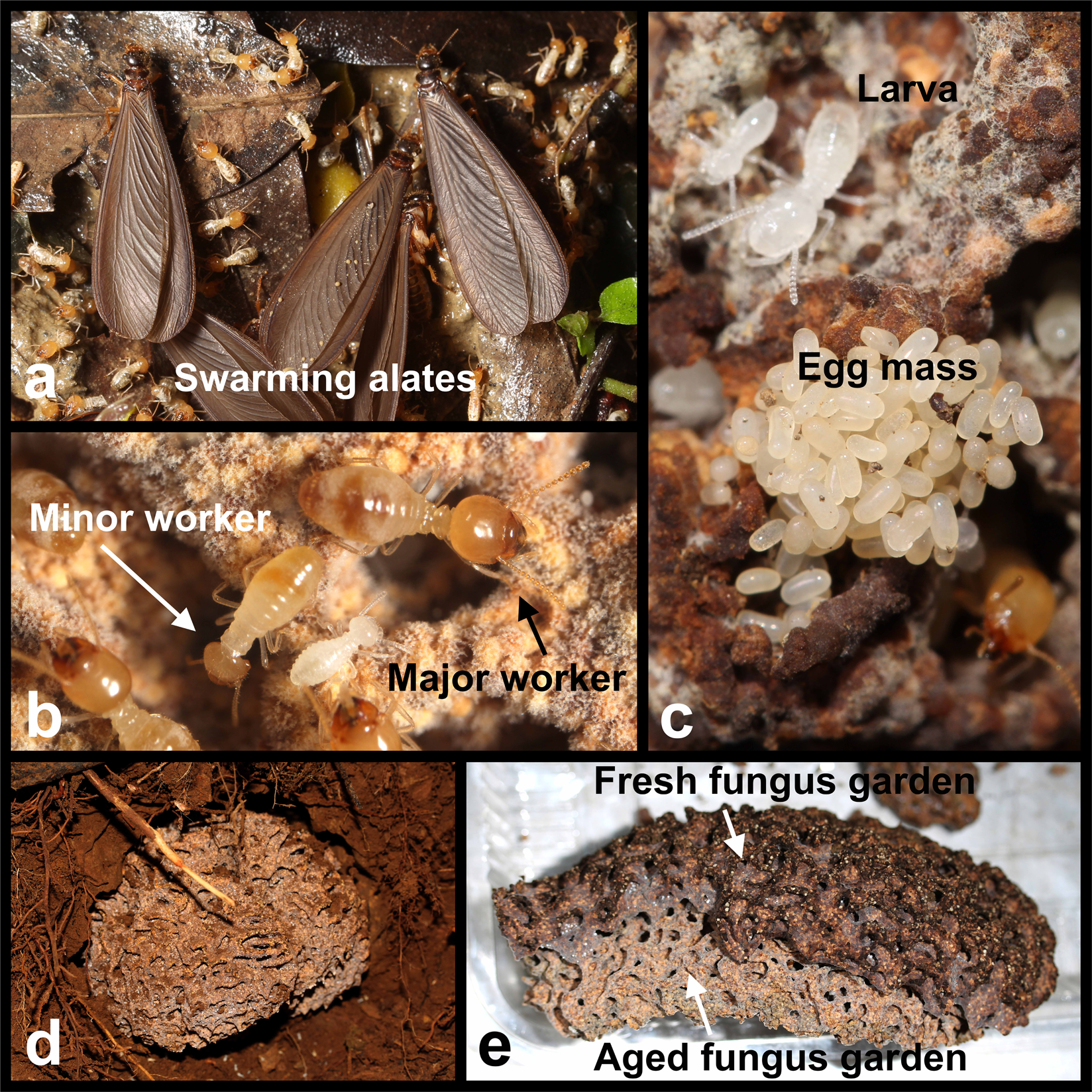Agricultural System Of A Fungus Growing