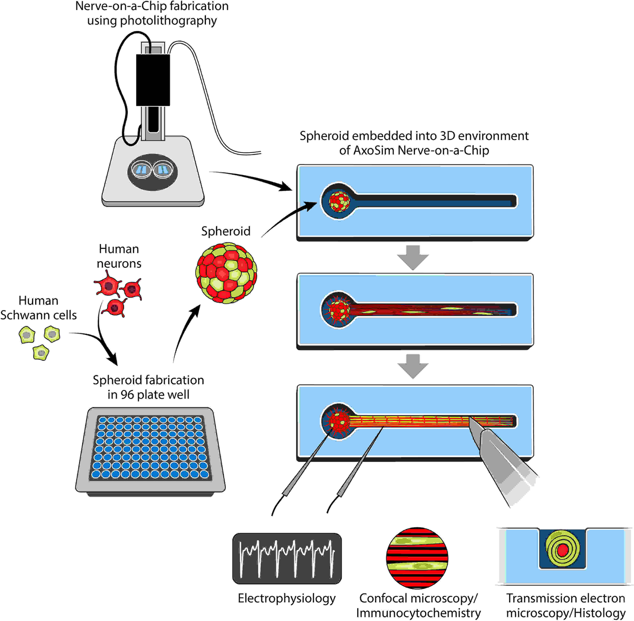 Engineering a 3D functional human peripheral nerve in vitro using