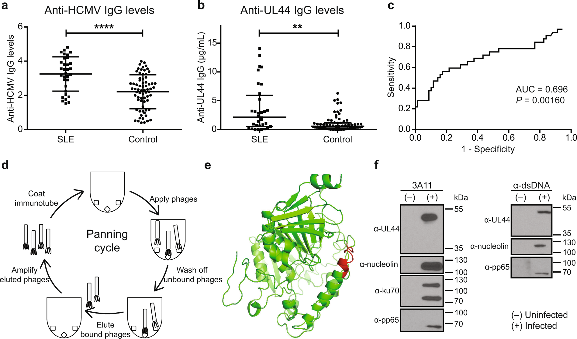 Characterisation of a human antibody that potentially links
