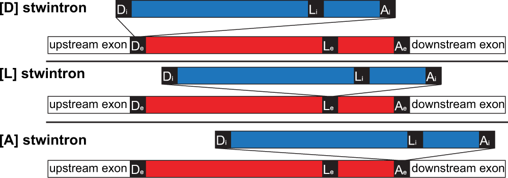 A spliceosomal twin intron (stwintron) participates in both exon