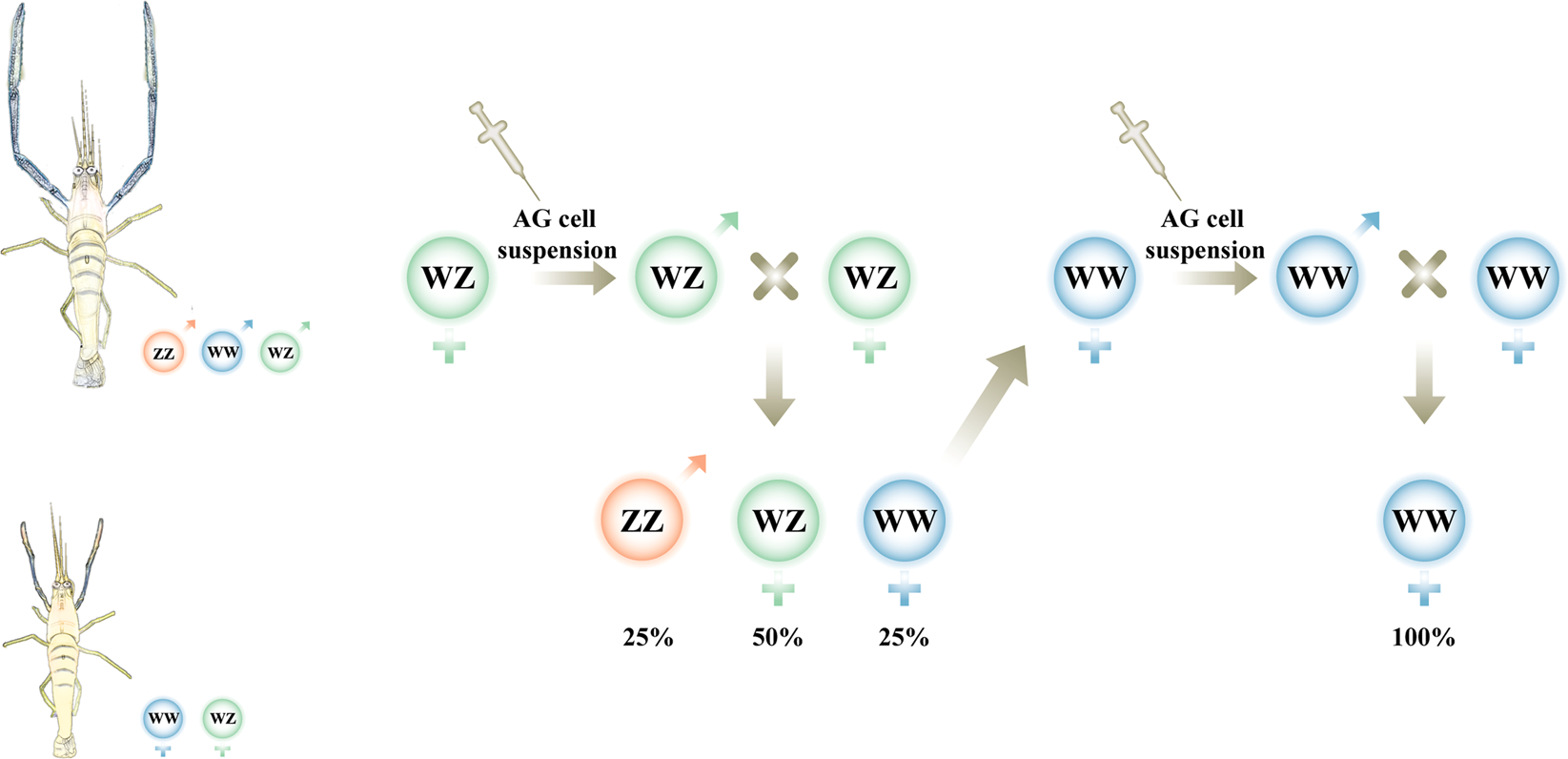 Production of WW males lacking the masculine Z chromosome