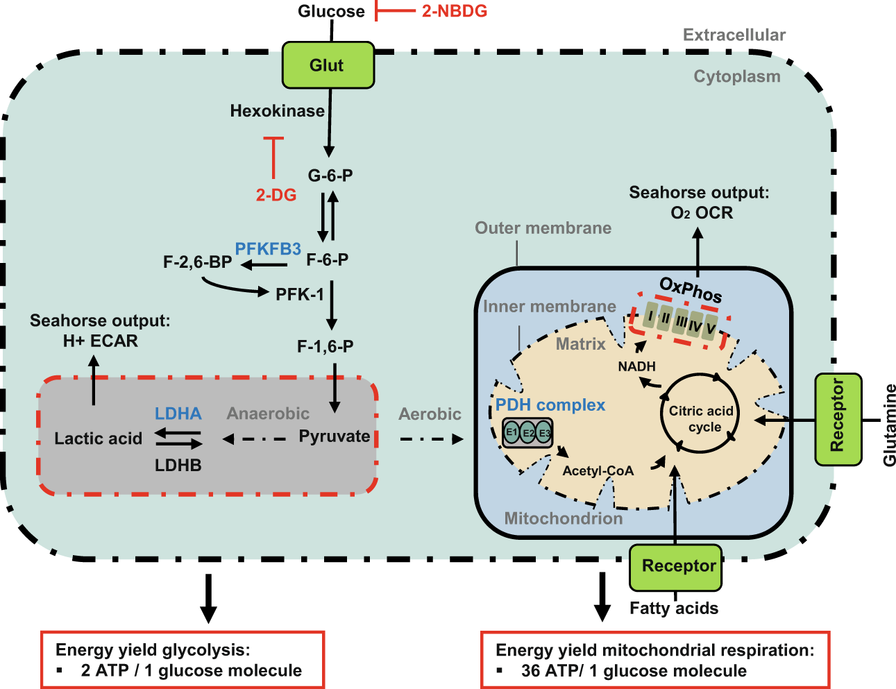 enzymatic diagram of glycolysis the role of glycolysis and mitochondrial respiration in the  mitochondrial respiration