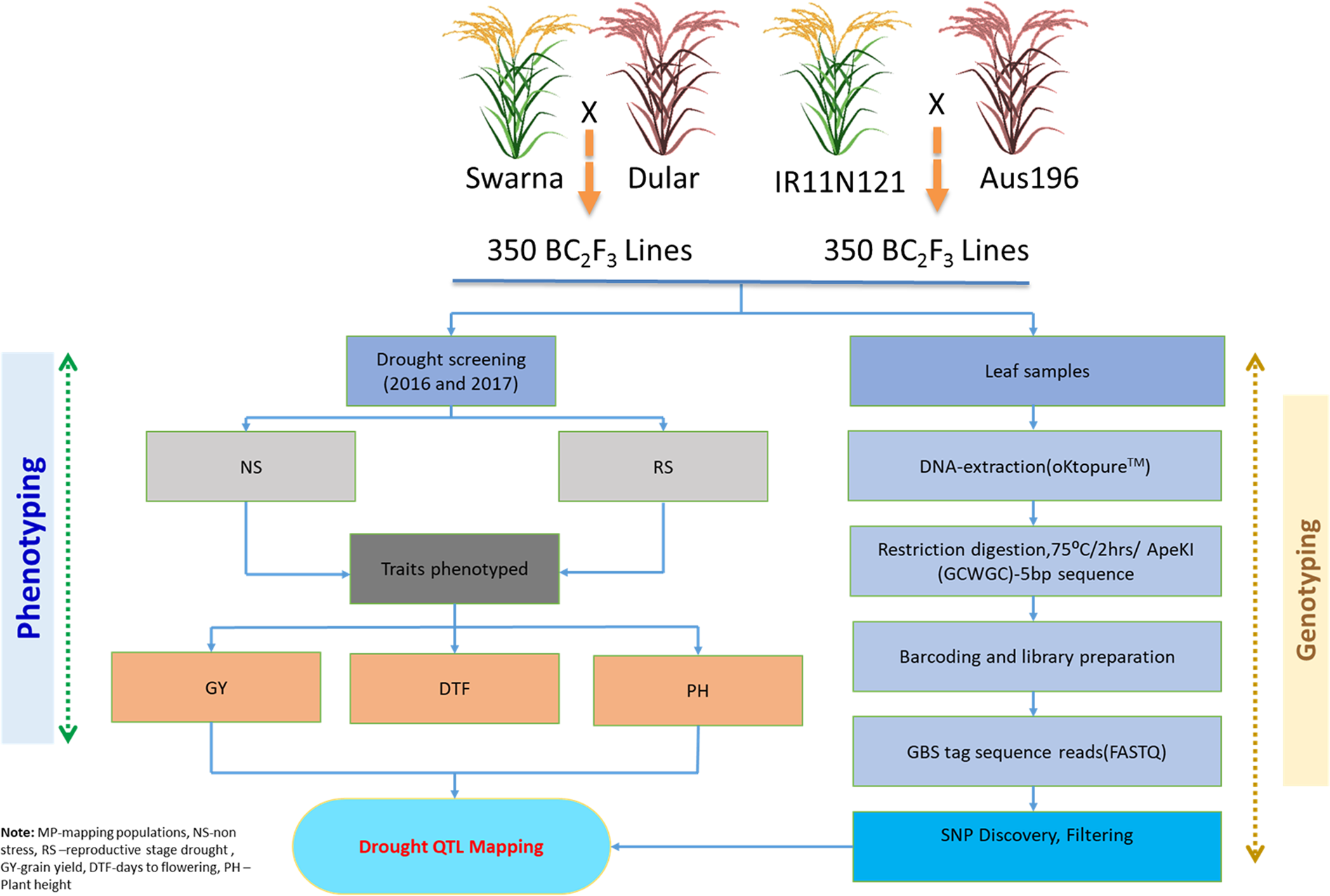 Genotyping-by-sequencing based QTL mapping for rice grain ... on marker assisted selection, gene mapping, copy-number variation, test cross, quantitative genetics, genetic linkage, dihybrid cross,