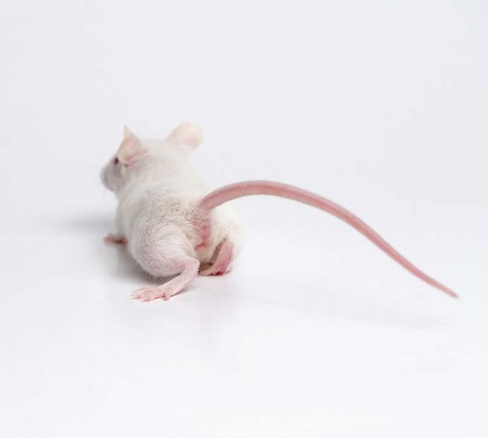 A new tool puts a number on mouse pain