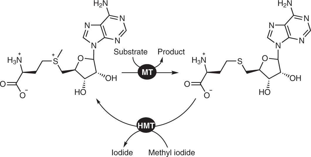 S -adenosylhomocysteine as a methyl transfer catalyst in