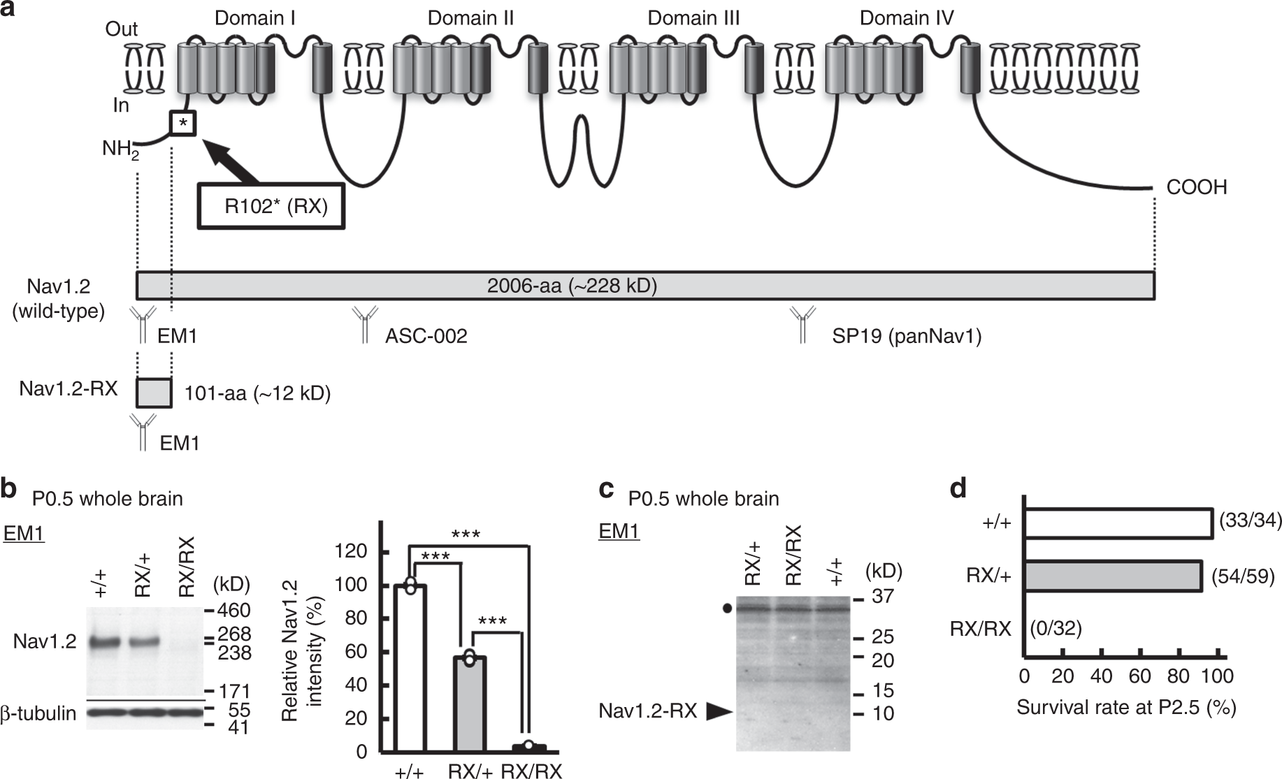 Nav12 Haplodeficiency In Excitatory Neurons Causes Absence Like This Circuit Produces A Voltage Proportional To Current And Isolates Seizures Mice Communications Biology