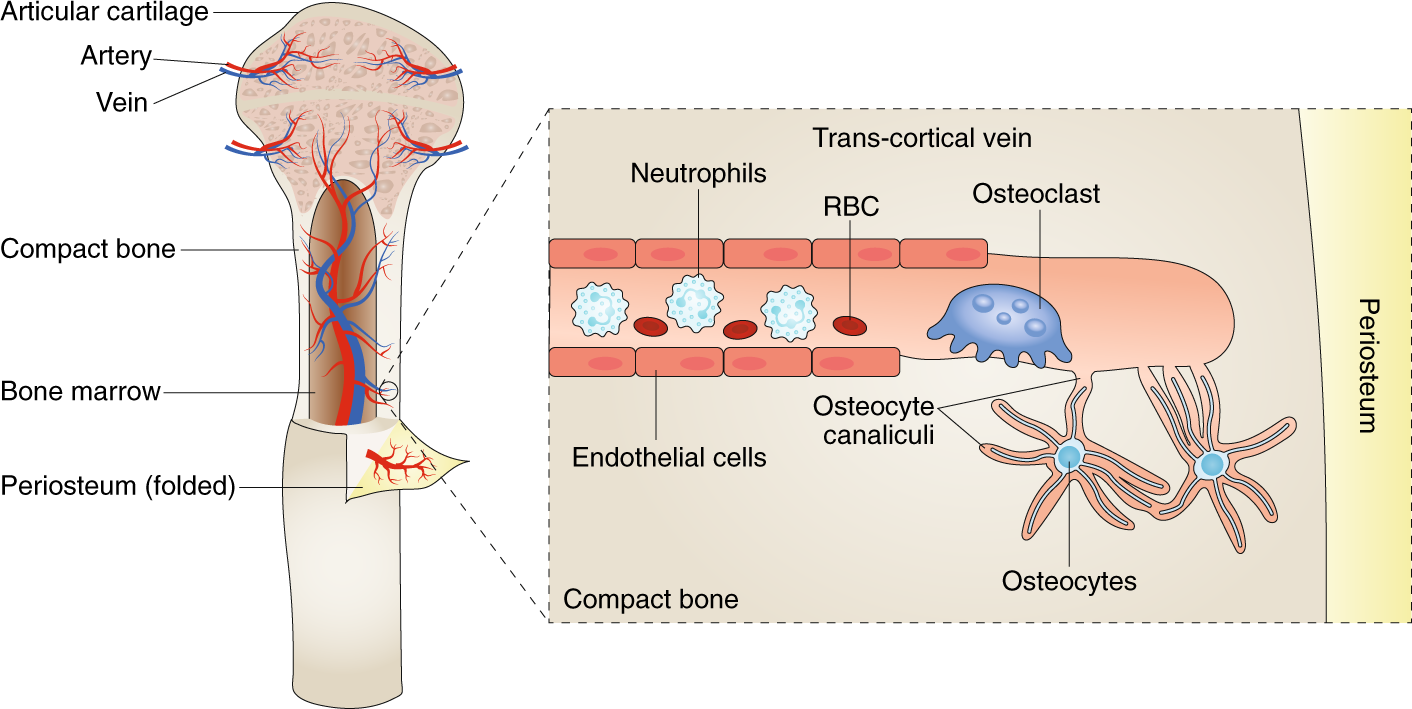 Go With The Flowhidden Vascular Passages In Bone Nature Metabolism