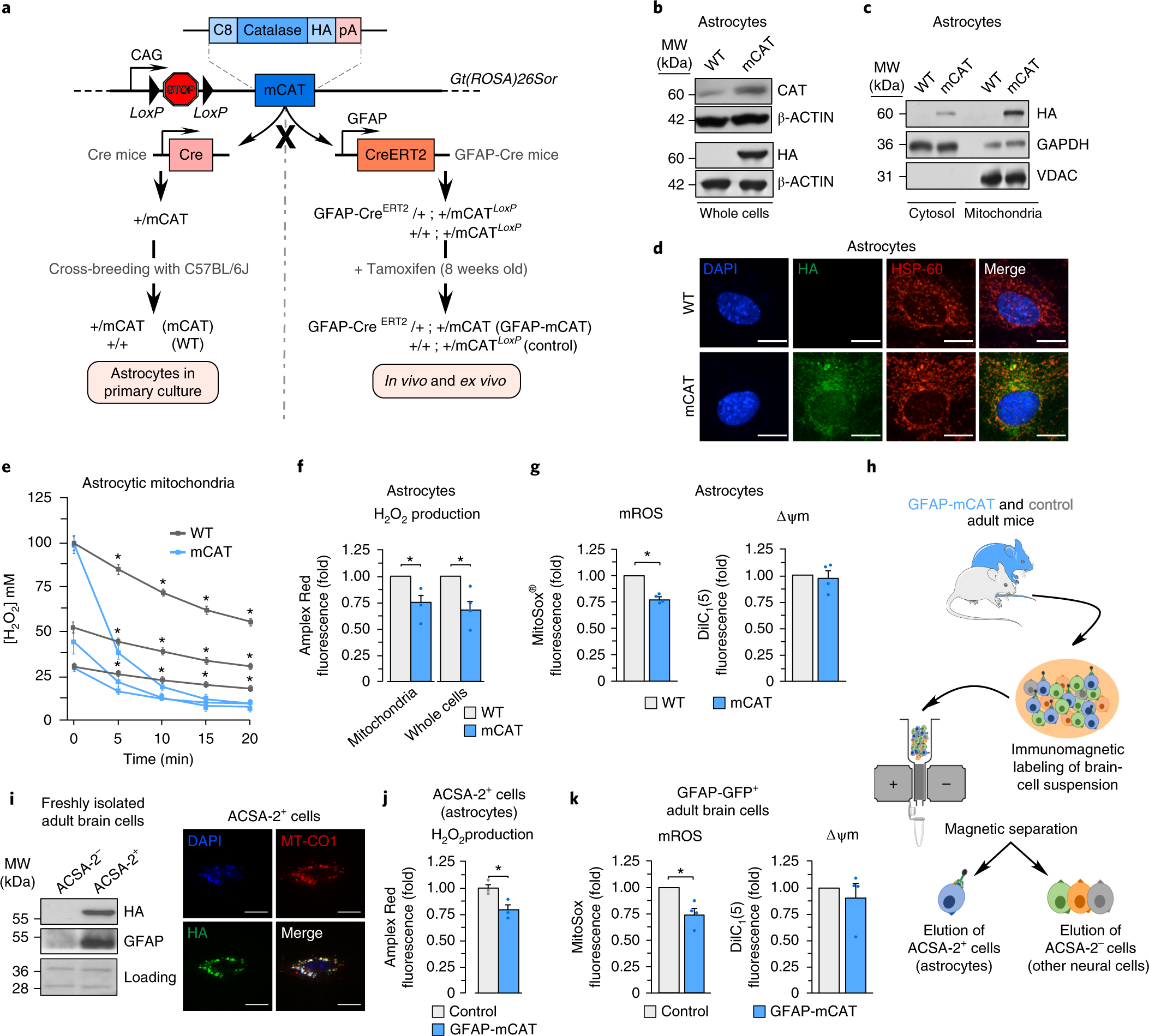 Astrocytic Mitochondrial Ros Modulate Brain Metabolism And Mouse