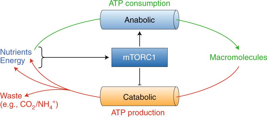 Molecular logic of mTORC1 signalling as a metabolic rheostat