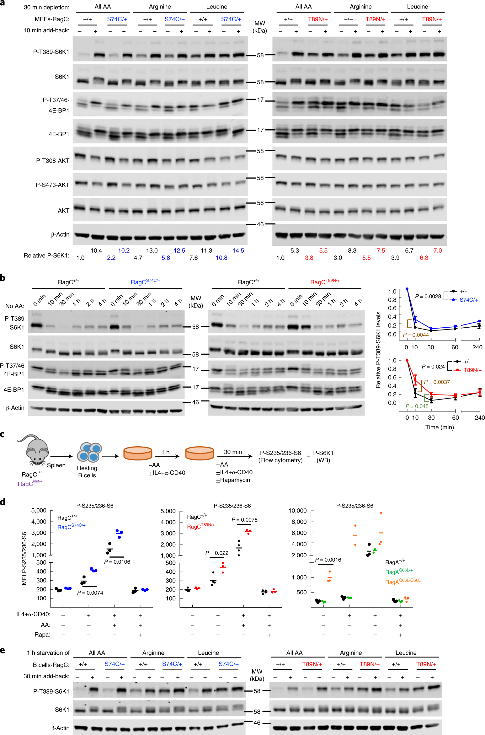 Oncogenic Rag GTPase signalling enhances B cell activation and drives