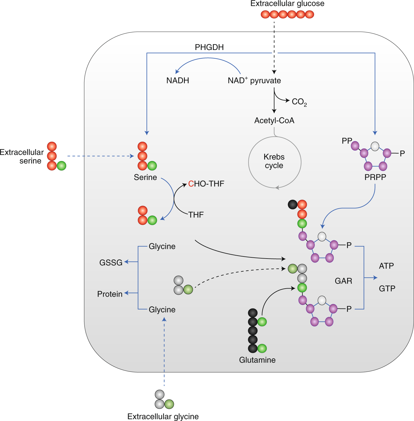 Essentiality of non-essential amino acids for tumour cells and tumorig