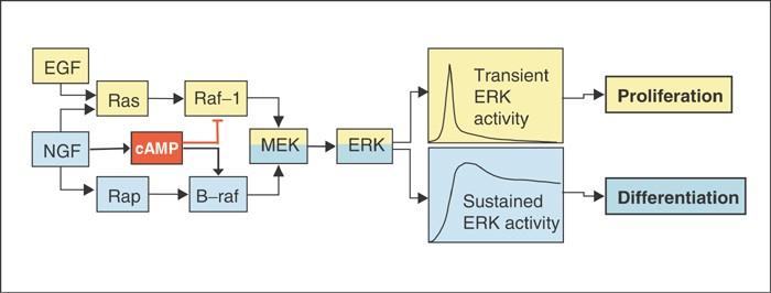 Conferring specificity on the ubiquitous Raf/MEK signalling